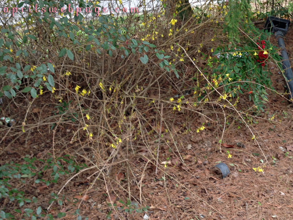 forsythia: yellow bells