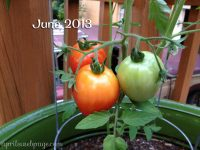 tomatoes from 2013