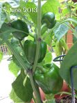 bell peppers from 2013
