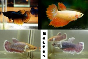 Female Bettas Have Been Selected