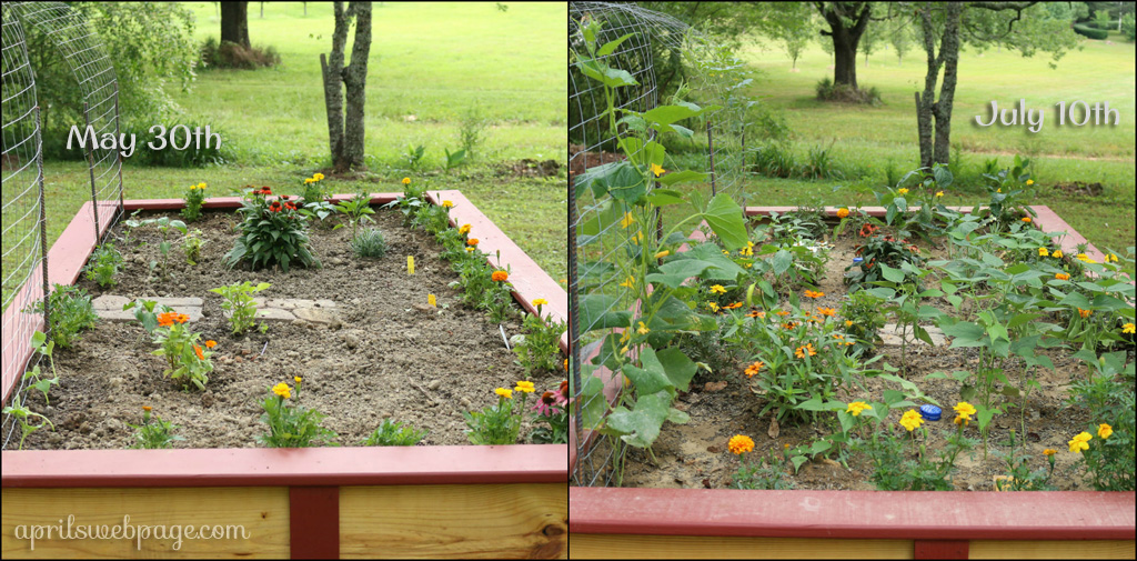 6-week garden progress