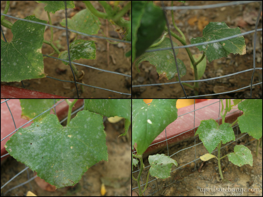 powdery mildew on cucumber leaves