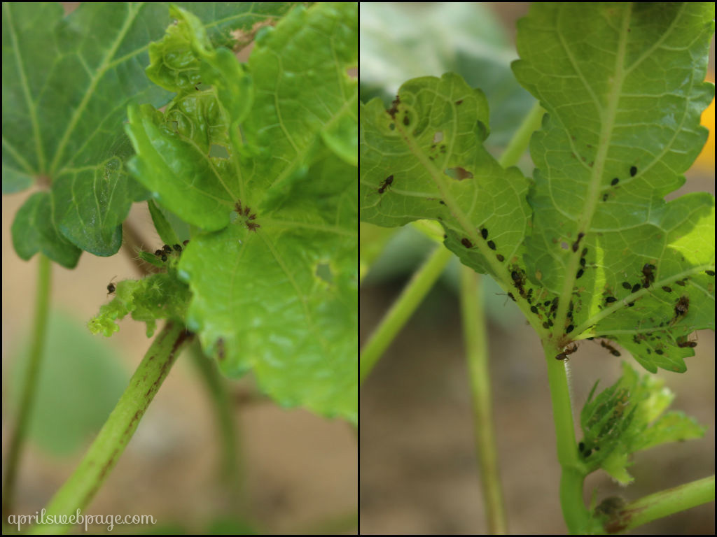 aphids and ants on okra
