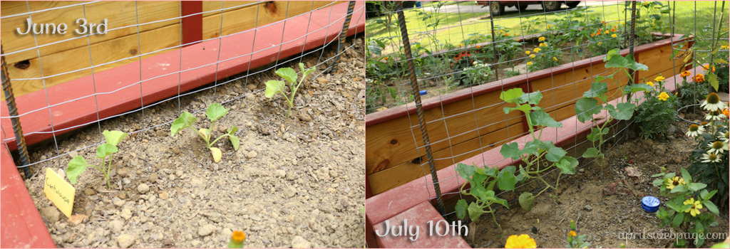 cantaloupe progress