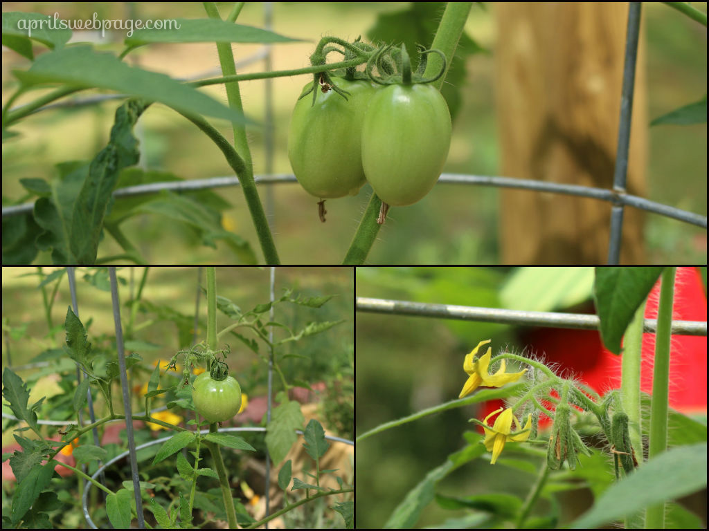 early girl tomatoes and blooms