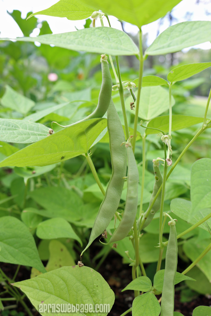 early bush Italian green beans