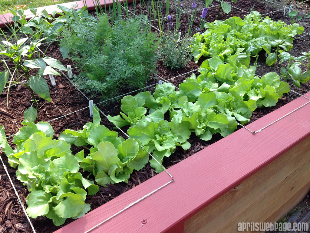 butter lettuce and leaf lettuce in the garden